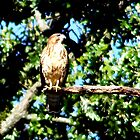 Hawk On A Limb by BamaBruce69