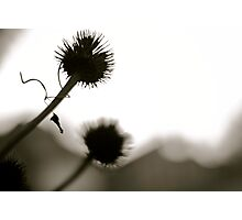 Thistle in the Light Photographic Print