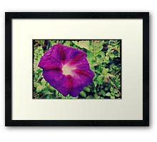 Purple Morning Glory Framed Print