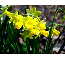 Yellow Daffodils in the Springtime Photographic Print