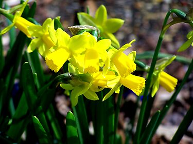 Yellow Daffodils in the Springtime by BamaBruce69