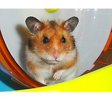 Syrian Hamster Barney Photographic Print