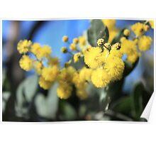 Wattle Flowers Poster