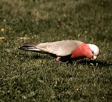 Galah by ScottyL