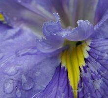 Iris by Jessica Fittock