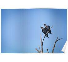 Black-naped ravens Poster