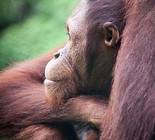 Hercules by Orangutans