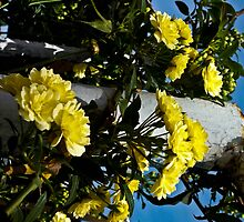 Yellow bunches on Pole by mamasita