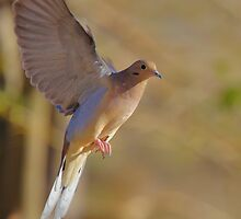 Mourning Dove in Flight 2 by SB  Sullivan