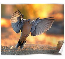 Mourning Dove in Flight Poster