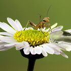 Mantis and droplet by jimmy hoffman