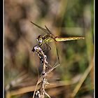 the dragonfly by keith calleja