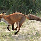 Red Fox running  by DutchLumix