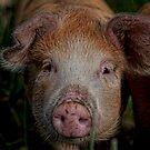 This little Piggy ...  by JPassmore