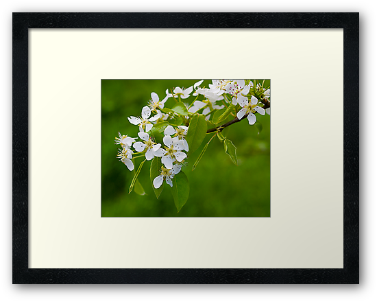 Apple Blossom, Beaconsfield, Victoria. by johnrf