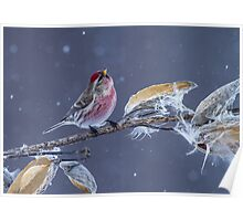 Common Redpoll (Carduelis flammea) in Gently Falling Snow Poster