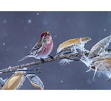 Common Redpoll (Carduelis flammea) in Gently Falling Snow Photographic Print