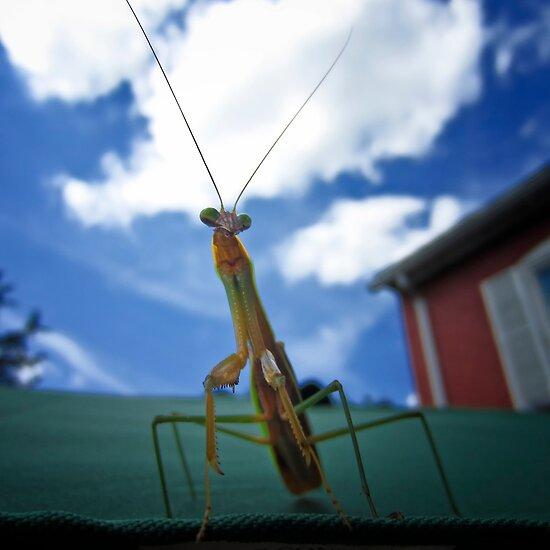 Praying Mantis by KellyHeaton