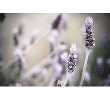 ~lavender~ Photographic Print
