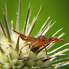 Tiny Crab Spider on Teasle by Ron Russell