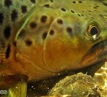 Brown Trout by Ross Mitchell
