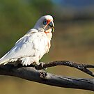 Long Billed Corella. Cedar Creek, Queensland, Australia. by Ralph de Zilva