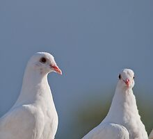 Fantailed Doves by Margaret S Sweeny