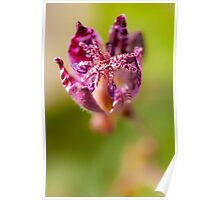 The Common Toad Lily Poster