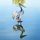 White Pelican by Linda Gregory