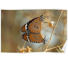 African Monarch Or Plain Tiger Poster