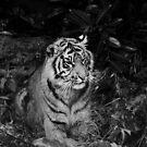 Sumatran Tiger at Chester Zoo by Colin Shepherd
