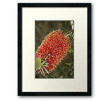 Calistemon- Red Bottle Brush flower Framed Print