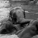 Asian Elephants Playing by Colin Shepherd