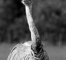 Ostrich by Colin Shepherd