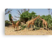 Reticulated Giraffes Canvas Print