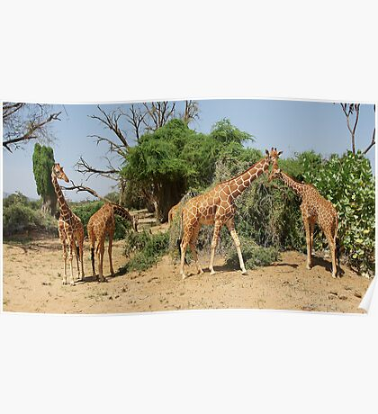 Reticulated Giraffes Poster