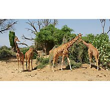 Reticulated Giraffes Photographic Print