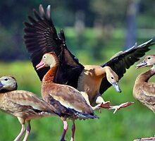 Black-bellied Whistling-Ducks by venny