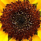 Sunflower by photoj
