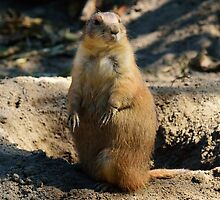 Black-Tailed Prairie Dog by BeachBumPics
