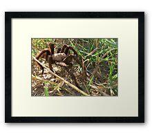 Desert Tarantula~ Morning Stroll  Framed Print