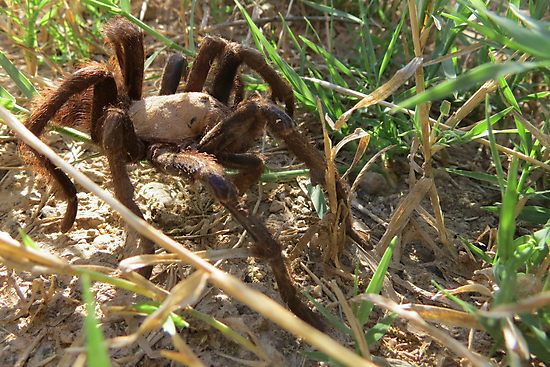Desert Tarantula~ Morning Stroll  by Kimberly Chadwick
