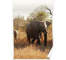 Baby elephant playing catchup Poster