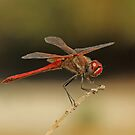Male Red-Veined Darter by Robert Abraham