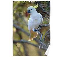 Sulphur Crested Cockatoo. Cedar Creek, Qld, Australia.  Poster