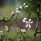 Citrus Blossom  by Steve Malcomson