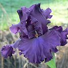 Thundermaker - Bearded Iris by louisegreen