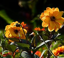Backlit Dahlias by vivsworld