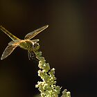 Sunshine on a landed Dragonfly. by Kuzeytac