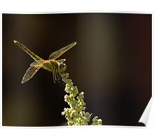 Sunshine on a landed Dragonfly. Poster